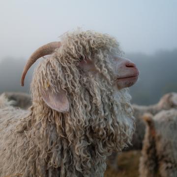 Le mohair de nos chèvres